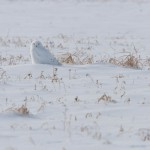 Snowy Owl on Amhurst Island
