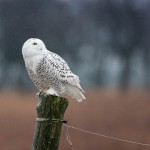 Snowy Owl on post, Amhurst Island