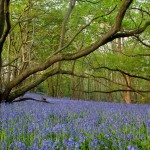 A 'sea'of bluebells