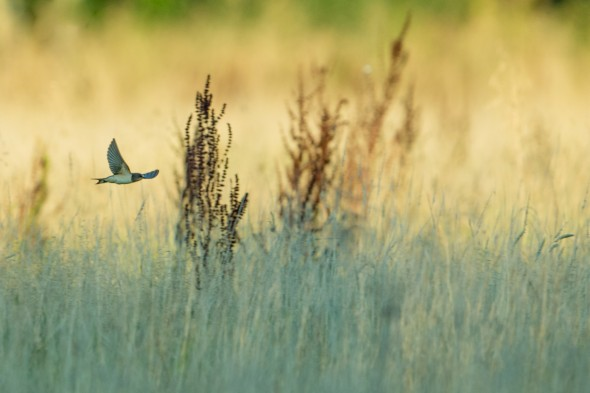 A Barn Swallow zips across the field