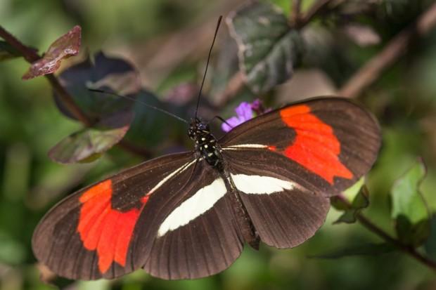 Alisos butterfly
