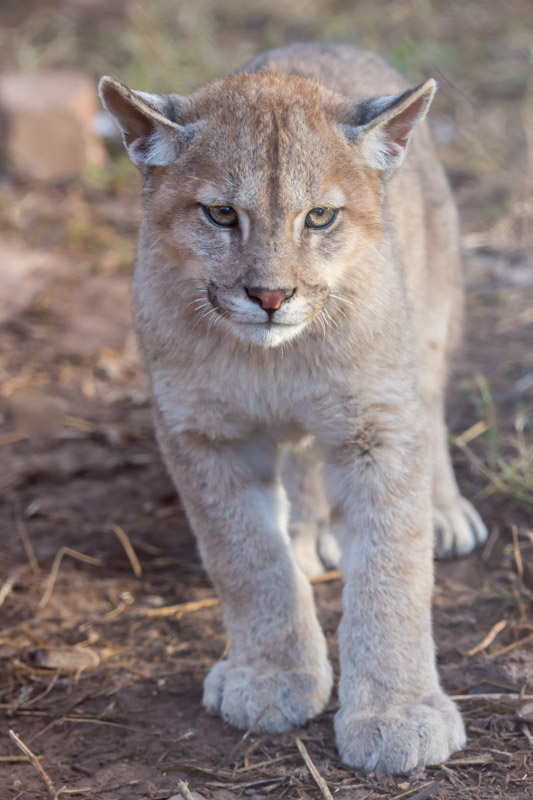 Male Puma cub