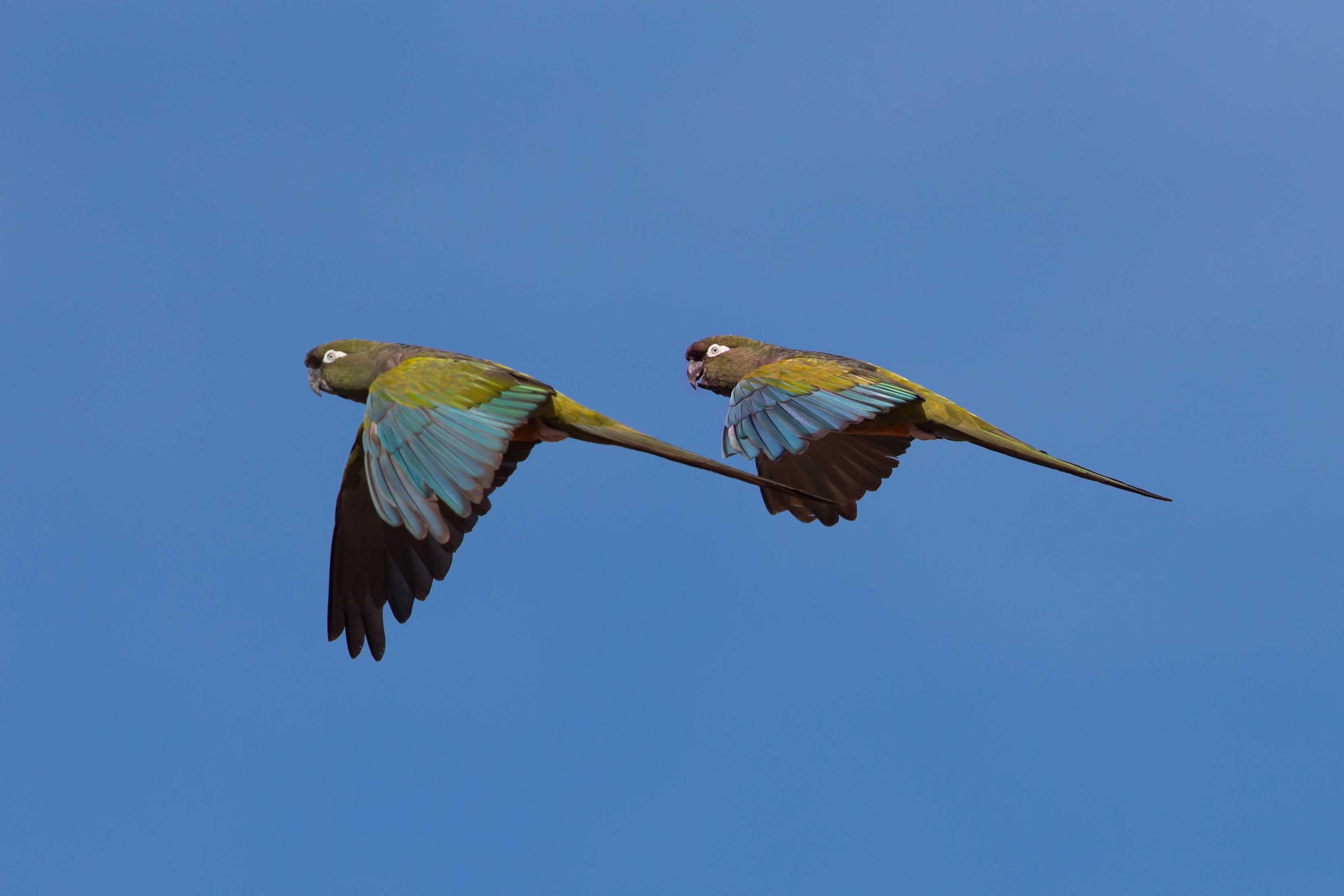 Burrowing parrots 2
