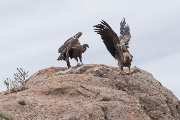 Two Andean Condors first flight