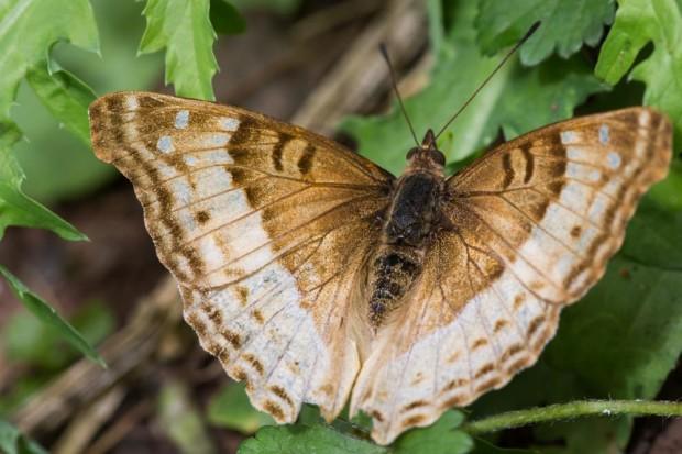 Calilegua butterfly