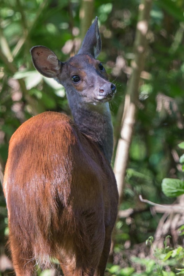 Female Red-brocket deer