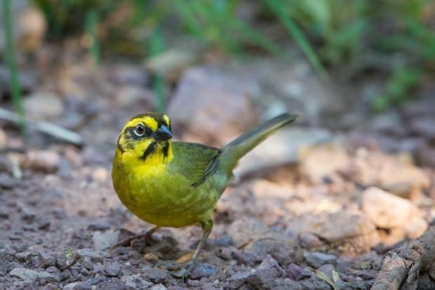 Yellow-striped Bush Finch