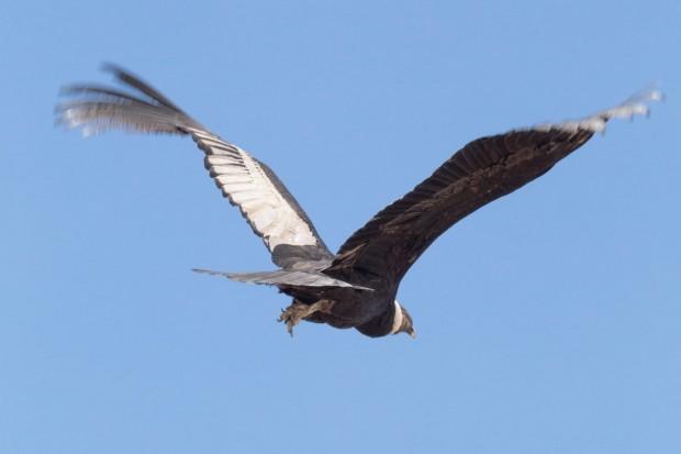 7 condor flying_