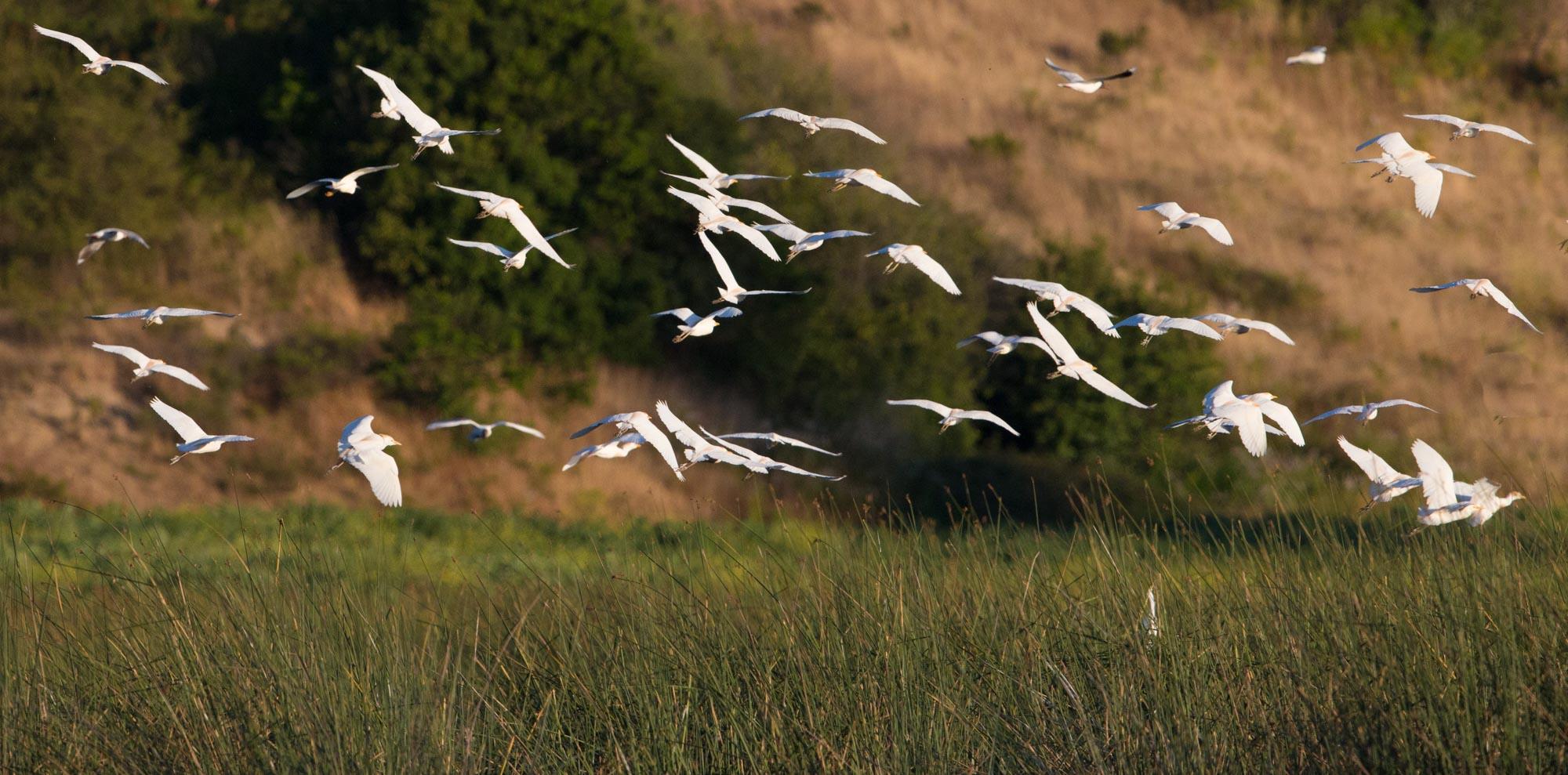 Garzas boyeras, Garcitas bueyeras, Cattle Egrets