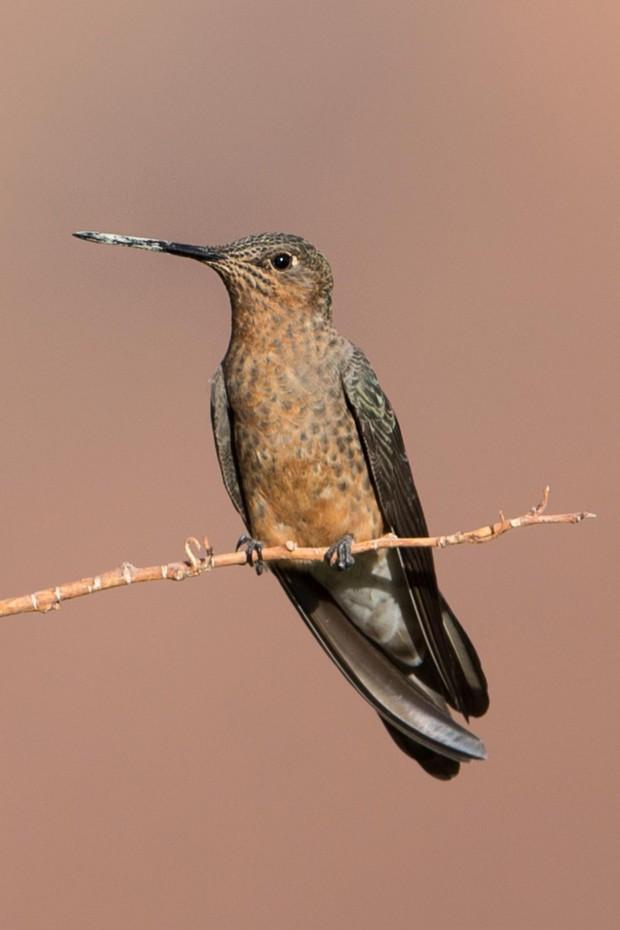 Monte - A Giant Hummingbird