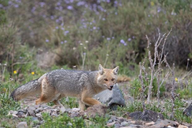 Monte - Grey Fox
