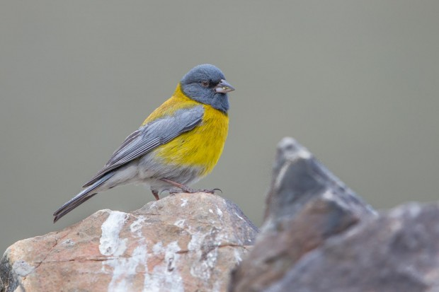 Monte - Grey headed Sierra Finch