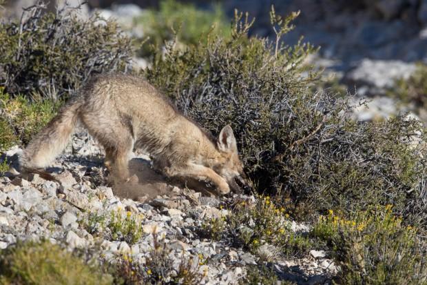 Monte -Red Fox