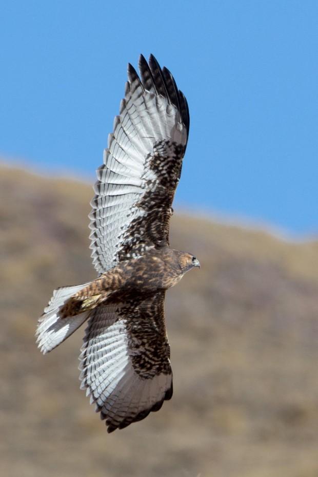 Monte -Red-shouldered Hawk