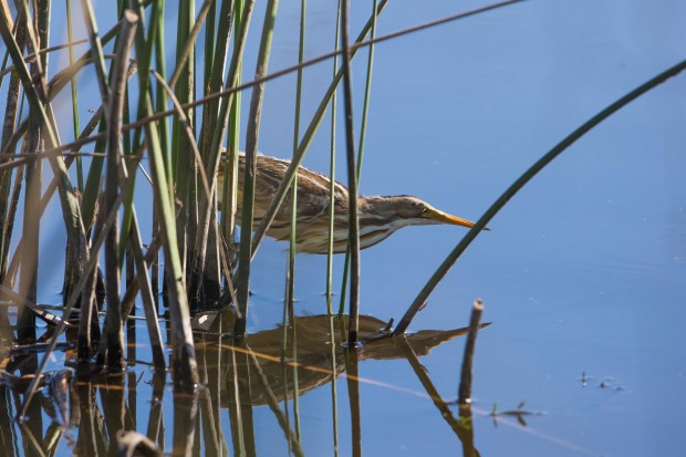 Huiravillo, Mirasol comun, Striped-backed Bittern.