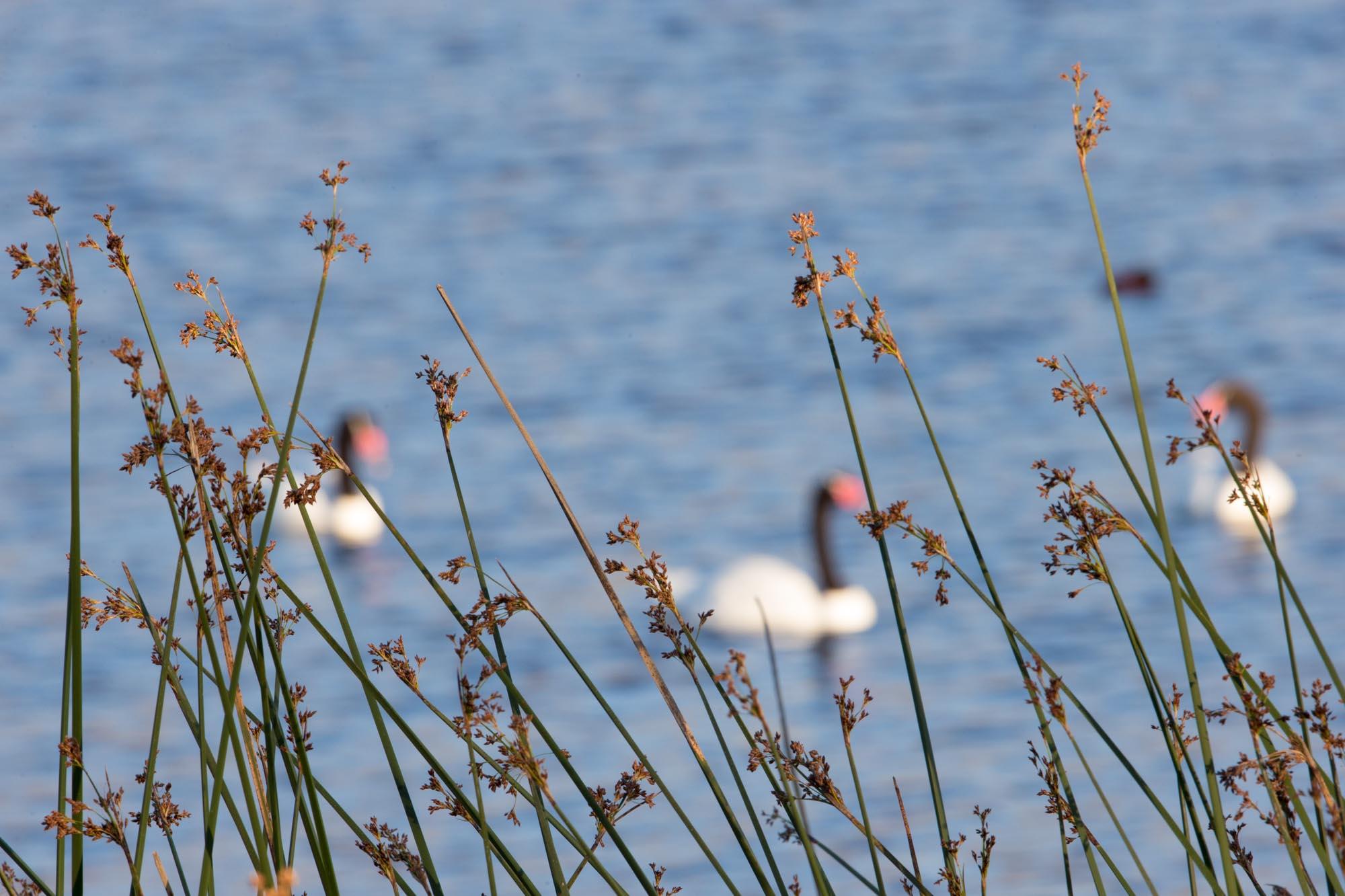 Cisnes de cuello negro , Black-necked Swans
