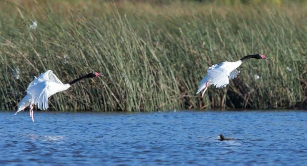 Cisnes de cuello negro, Black-necked Swans.
