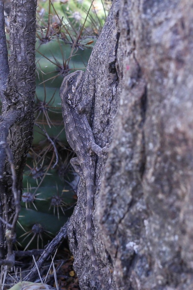 Diplolaemus lizard or Matuasto