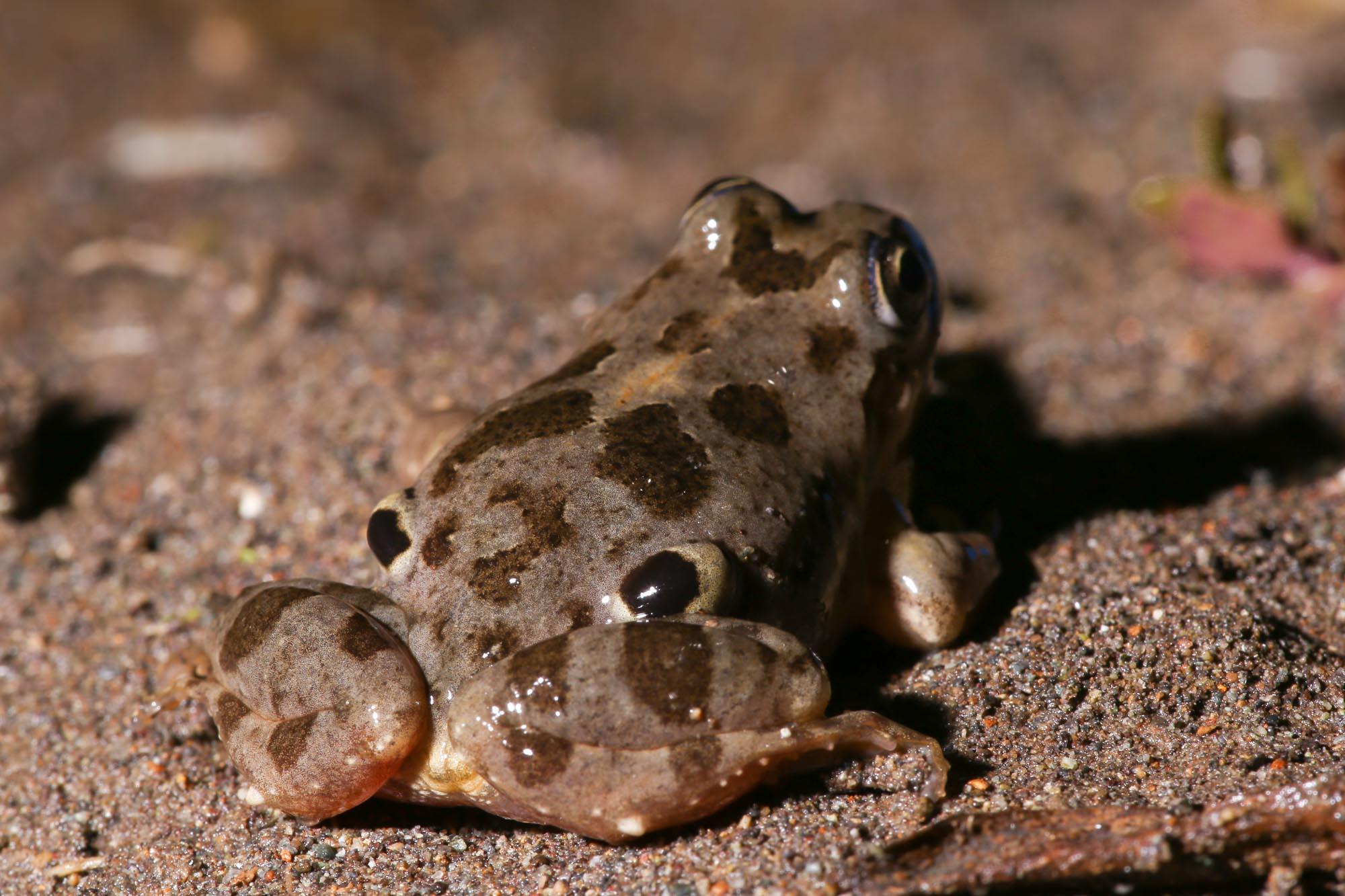 4 eyed frog