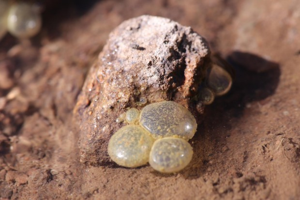 frog eggs_