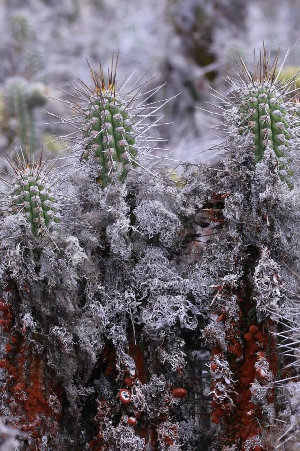 El cactus esta cubierto de liquen