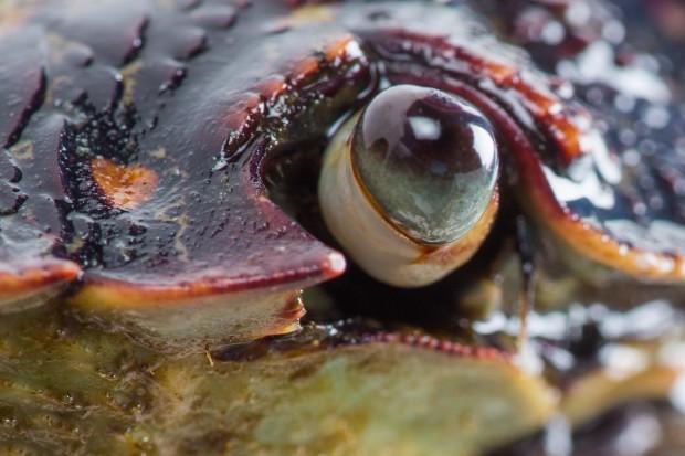 El ojo de un cangrejo
