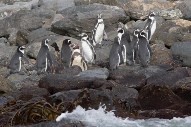 Pinguino de Humboldt