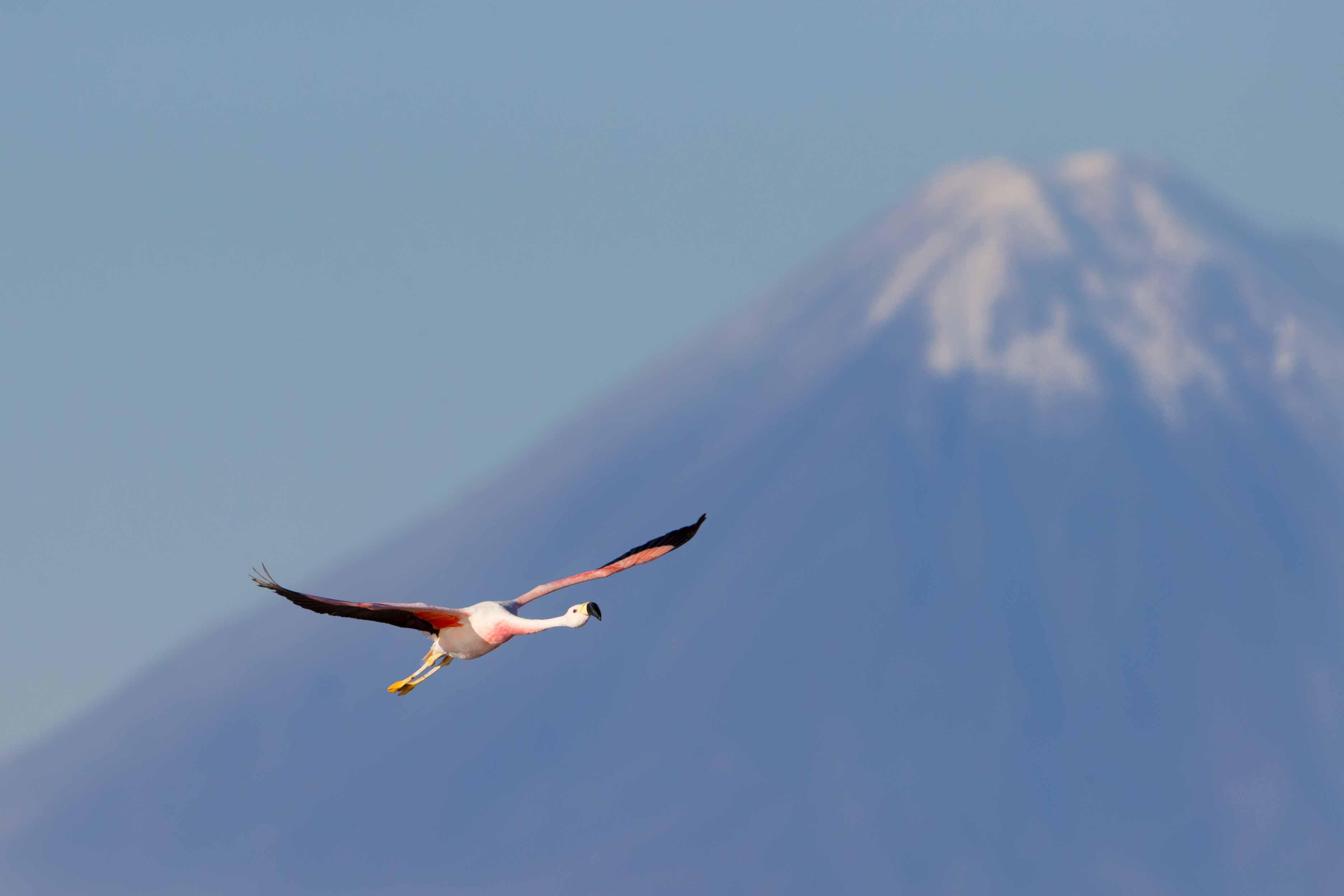 Flamingo 10 A