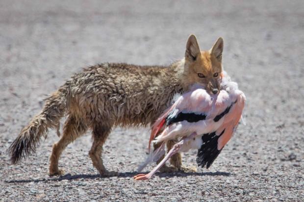 Un zorro con su victim !
