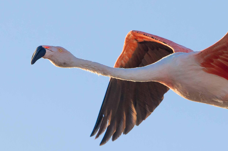 Un Flamenco en vuelo