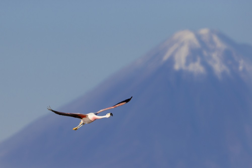 Andean Flamingo with Volcano.