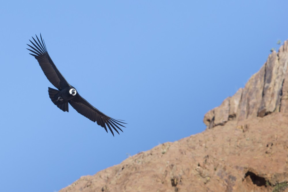 Andean Condor in flight, Patagonia, Argentina