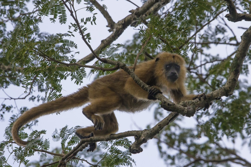 Southern Brown Howler Monkey