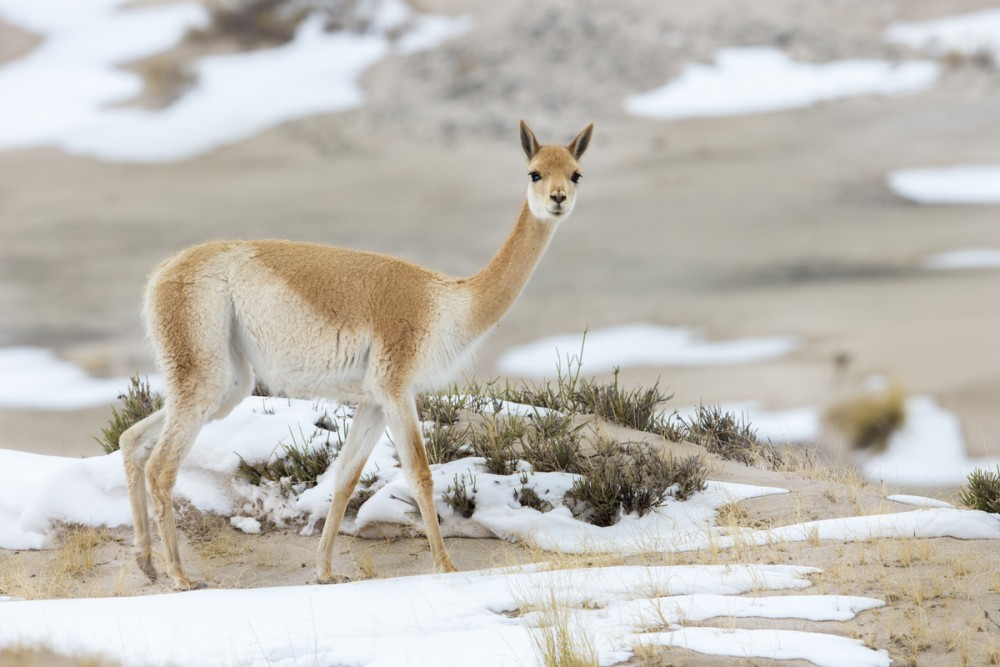 Vicuna in snow