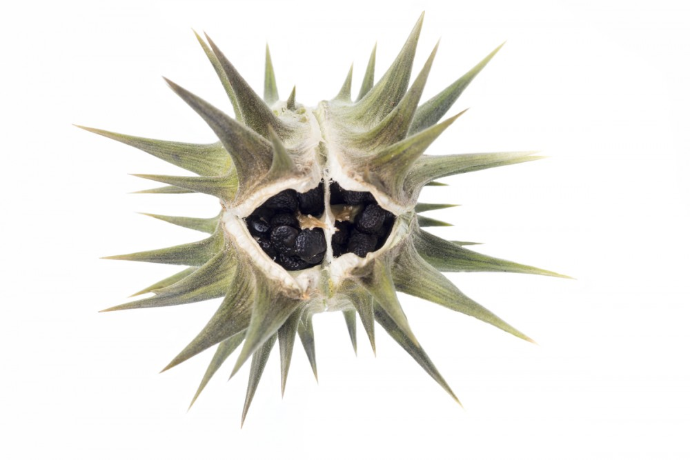 spiky seedpod